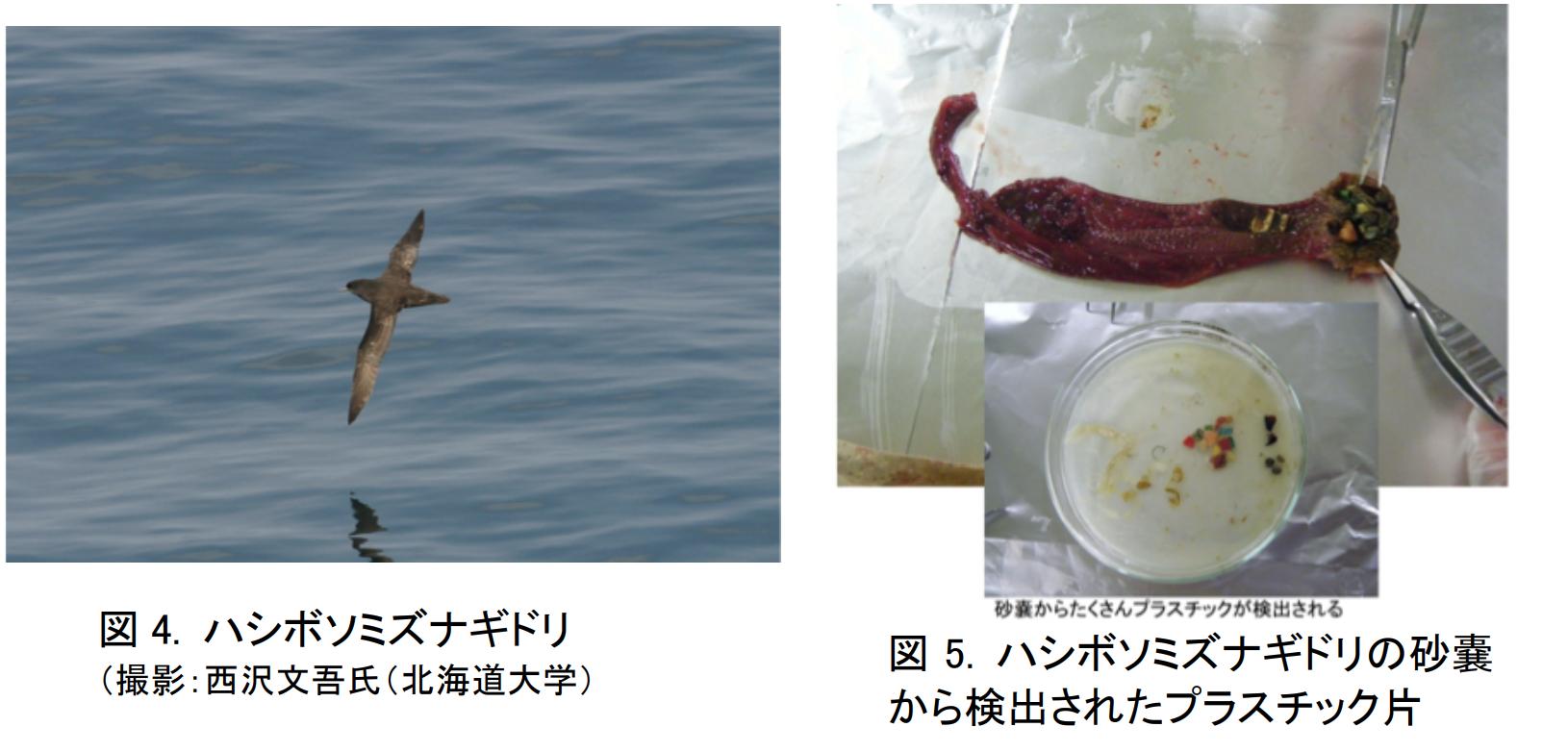 海鳥から見つかるマイクロプラスチック